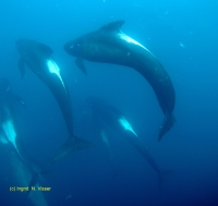 Pilot whale, long-finned
